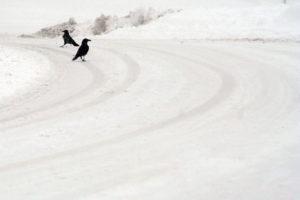 Grafica e Formazione - Francesca Gallesio - Fotografia Corvi nella neve